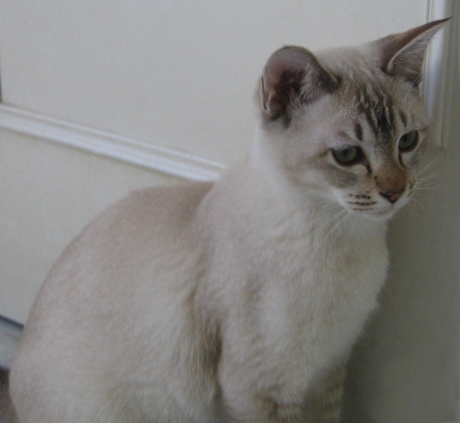 Photos de chats ou chatons tonkinois couleurs rares - Chaton tonkinois ...